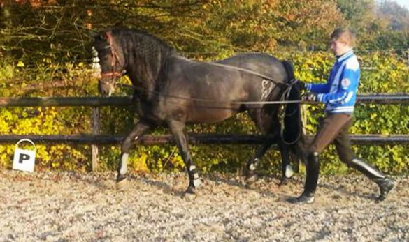 Fin Jopson long reining a Spanish horse